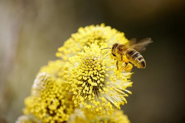 蜂胶自由基可降低人体衰老和身体机能