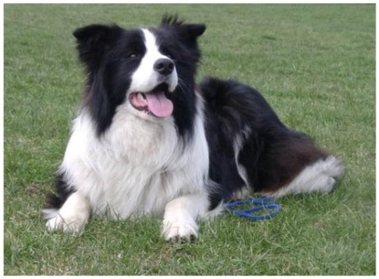 ¡Border Collie, el perro más inteligente, un perro llamado adicto al día!