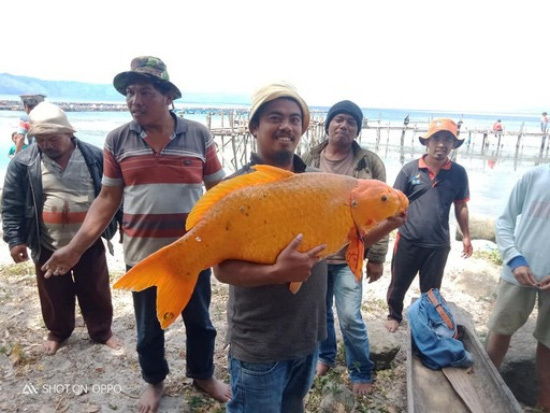 Giant goldfish, surprised by its size!